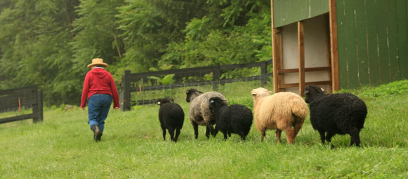 Persian Lambs